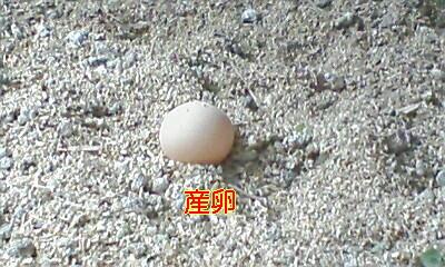 去年の7月に生まれた軍鶏が…