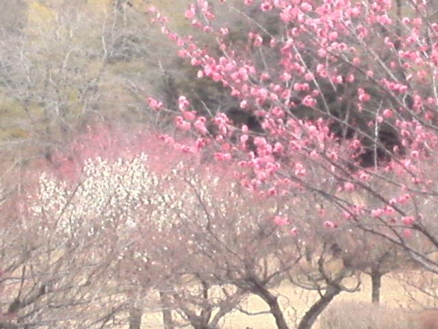 大高緑地の梅の花