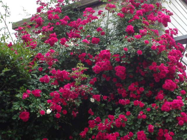 ツル薔薇が見頃を迎えました