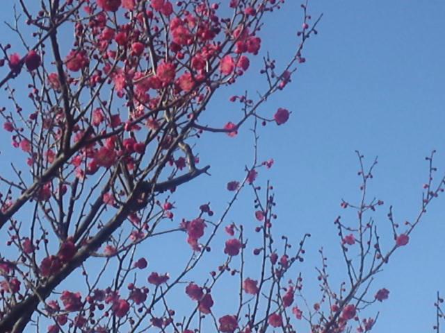 大高緑地公園の梅の花