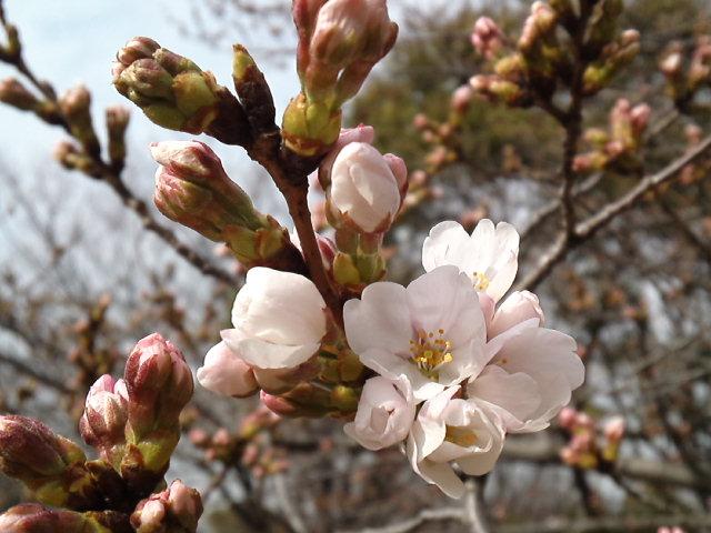 桜が咲いた!