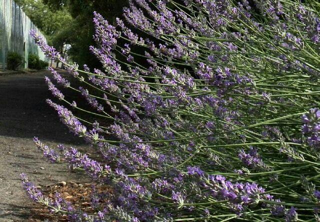 公園に咲くラベンダー