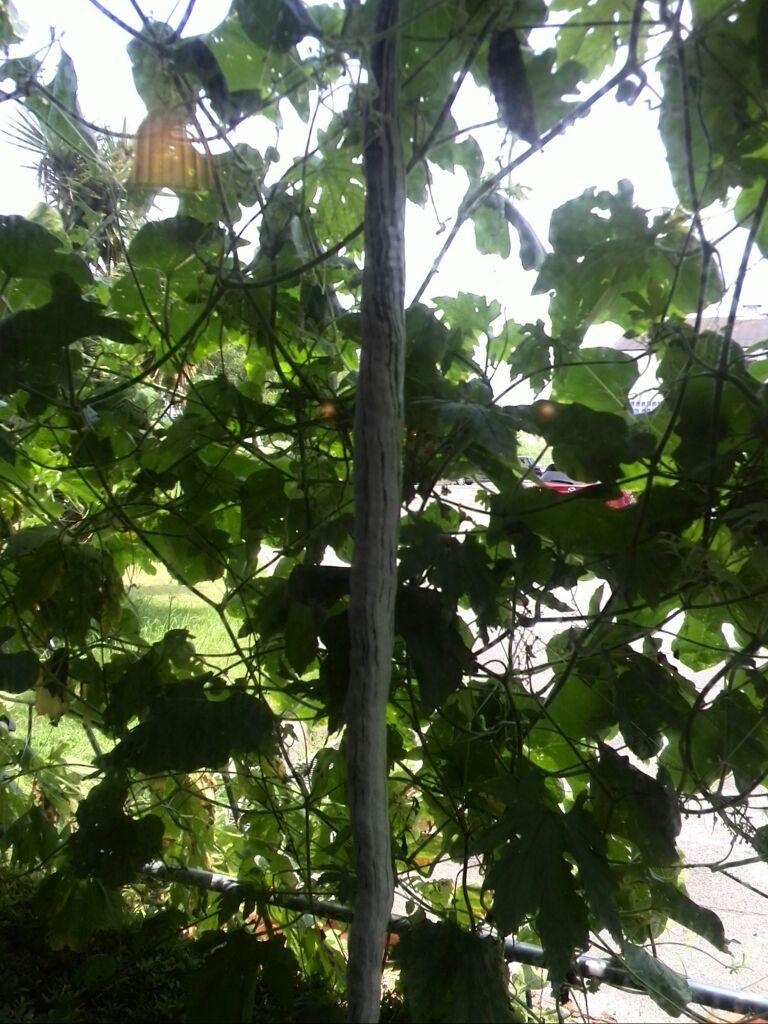 珍しい植物の緑のカーテン