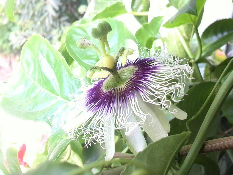 パッションフルーツの花の不思議
