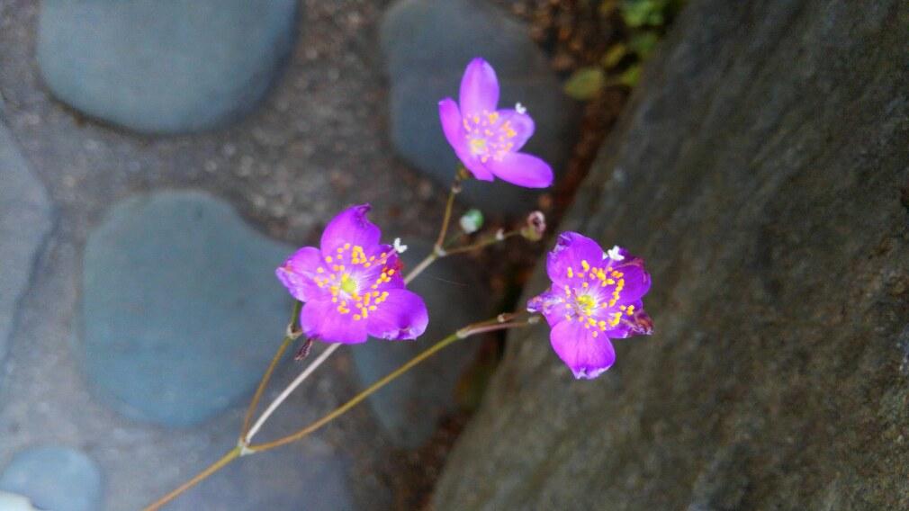 多肉植物の花が咲いたよ