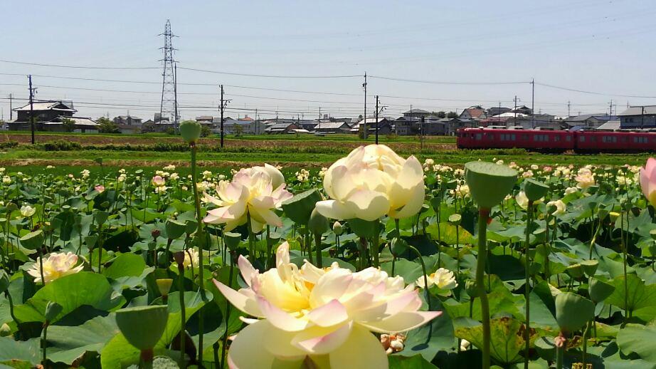 蓮の花と電車
