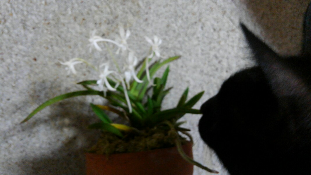 風蘭が咲いたよ!