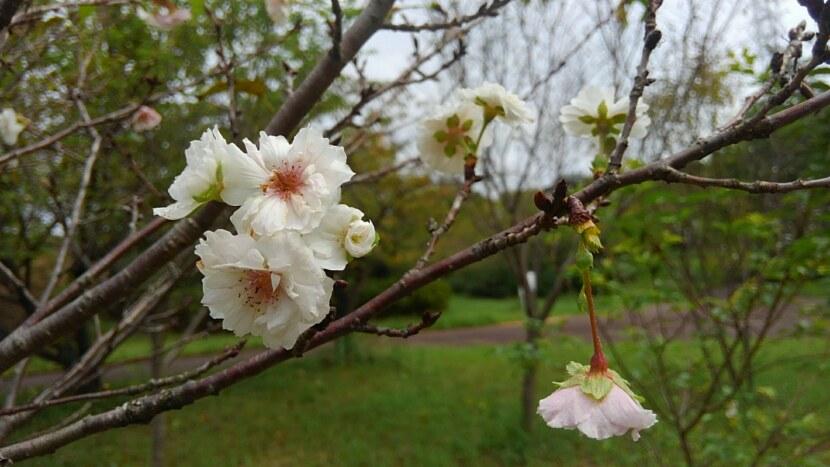 四季桜が咲いてた!