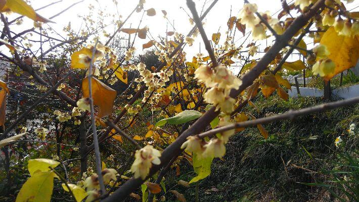 ロウバイと山茶花