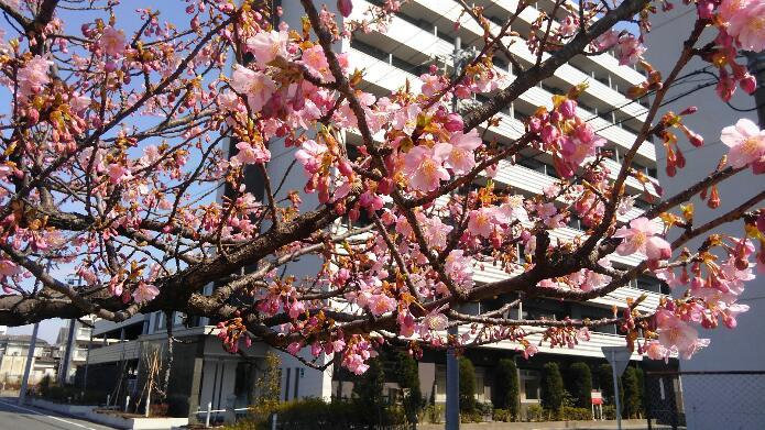 河津桜ぼちぼち