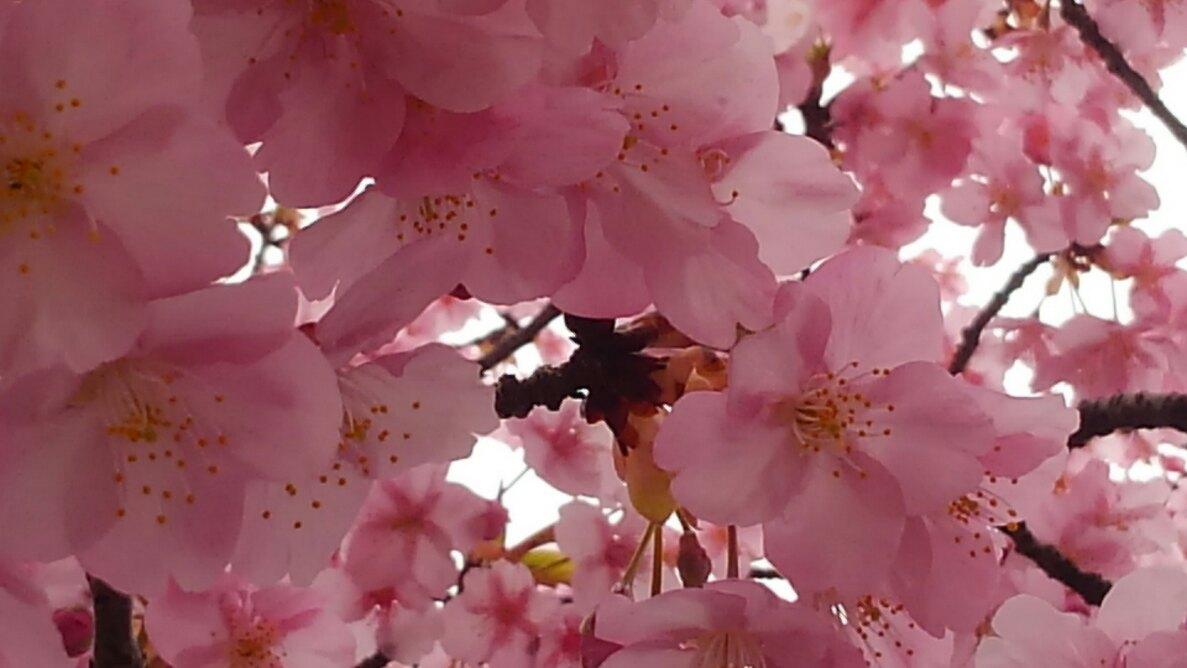 河津桜が満開に