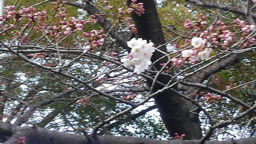 桜見てきました