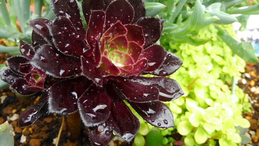 雨に濡れた多肉植物