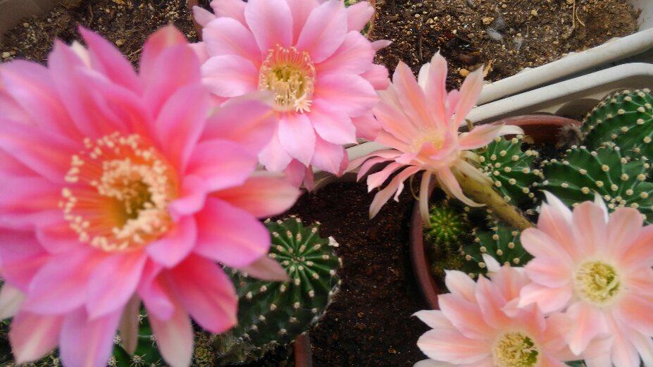 サボテンの花が咲いたよ!