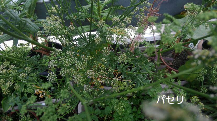 白い花の咲く野菜