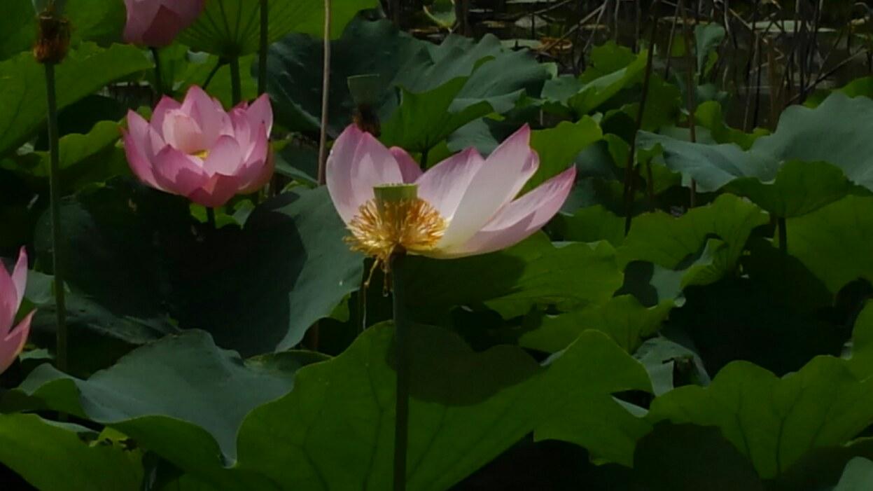 蓮の花と鯉