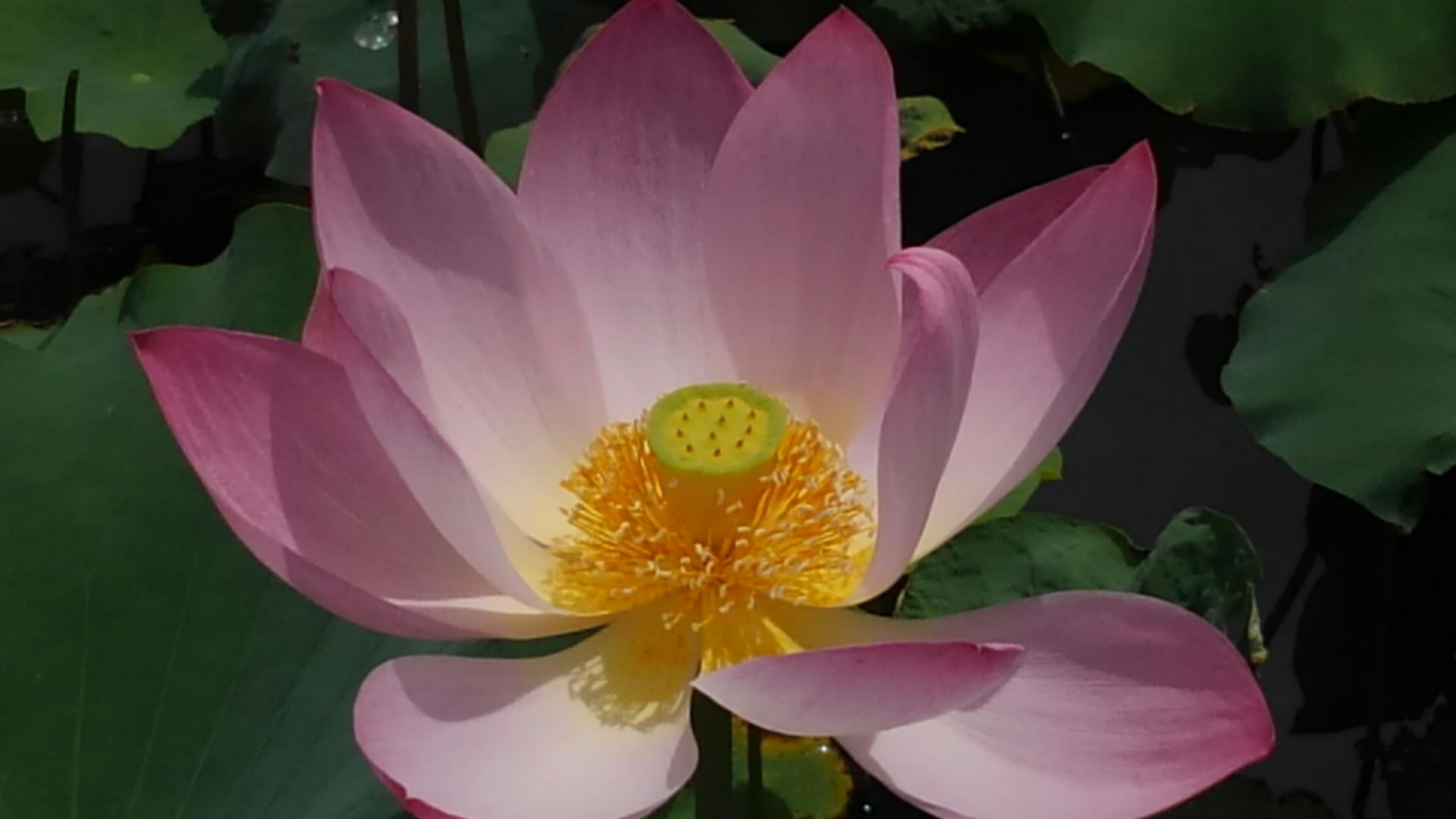 続 蓮の花
