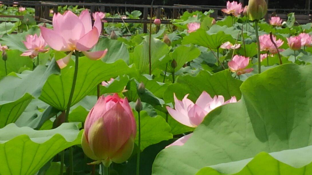 見事な蓮の花
