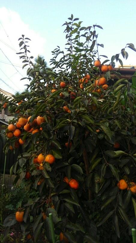 干し柿を作る!