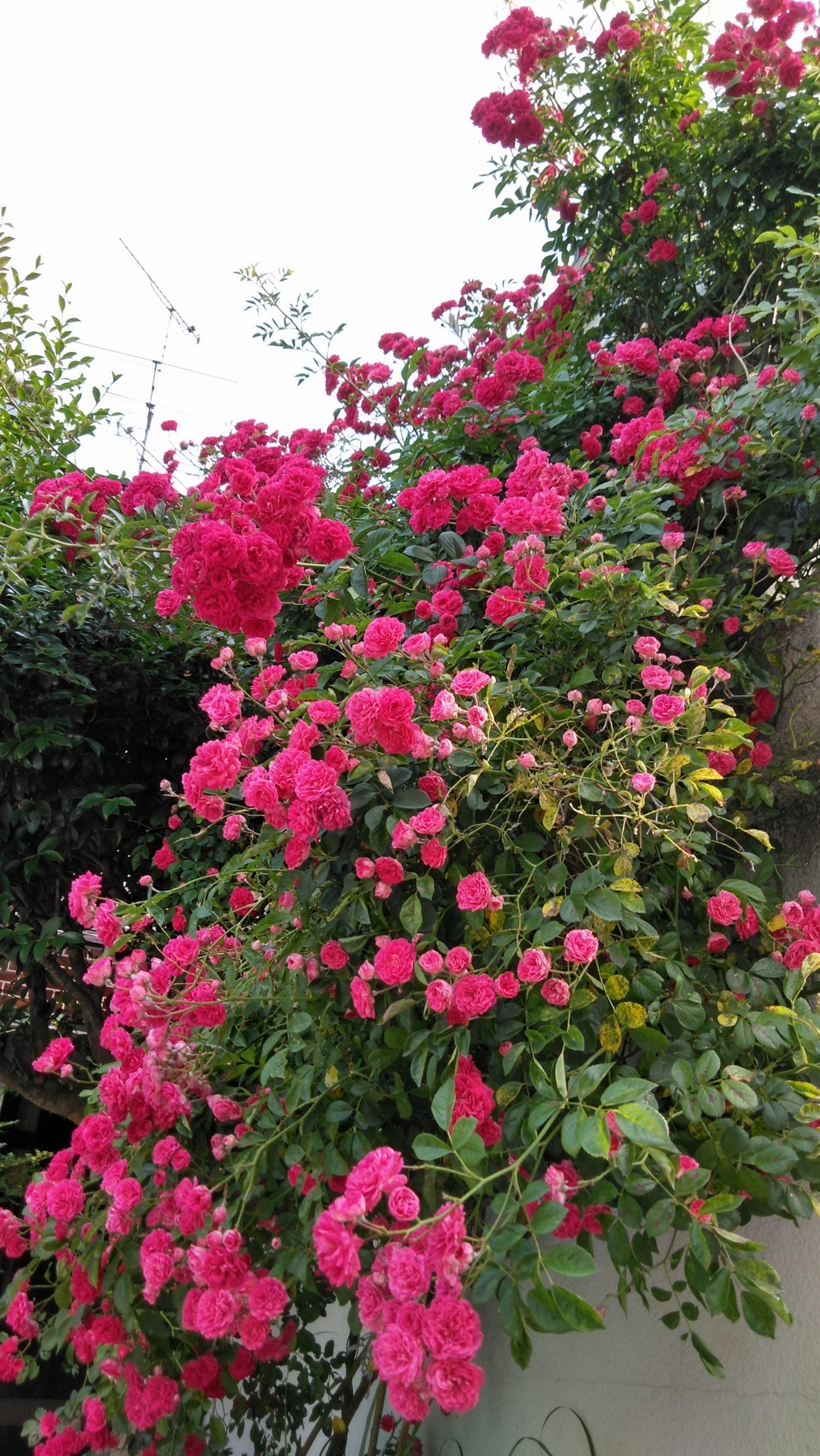 つる薔薇がこんなにきれいに咲いた!