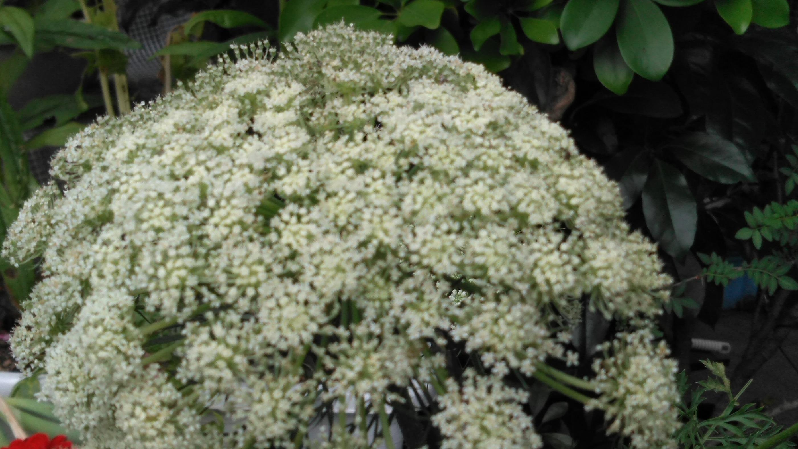 白い野菜の花