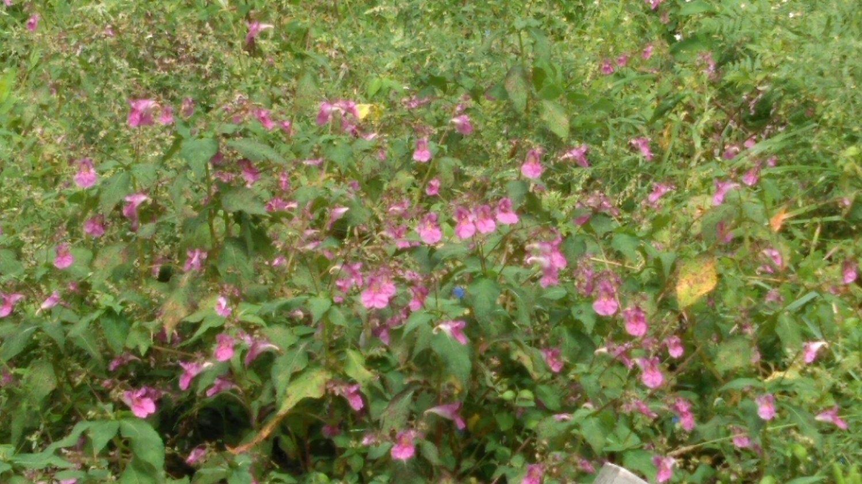 畔に咲く花(長野)