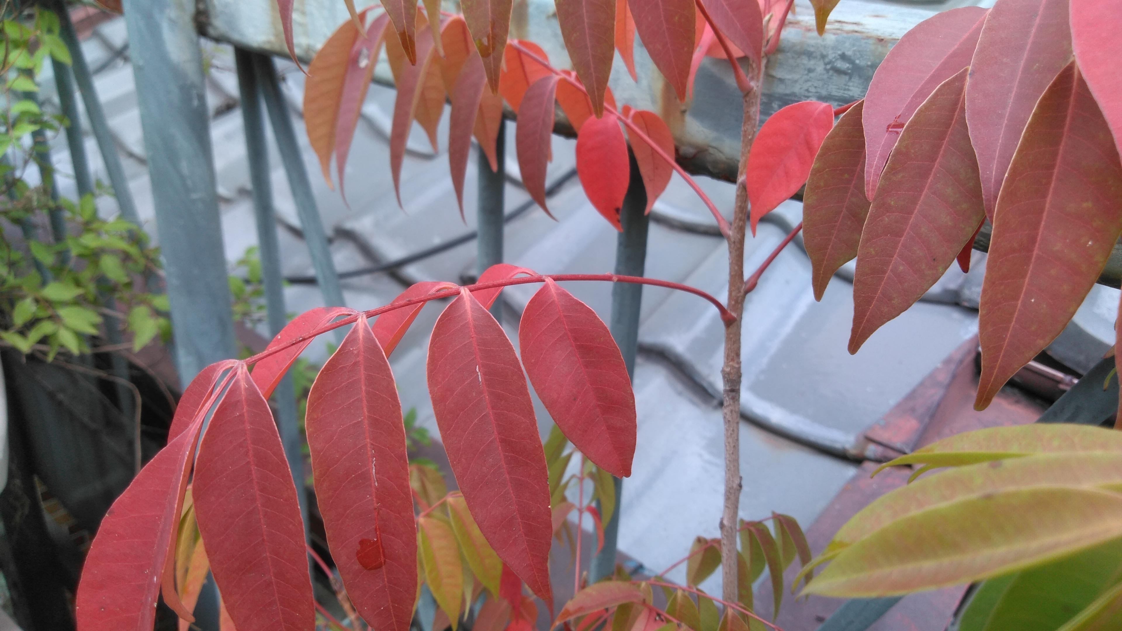 キアゲハの幼虫とハゼの紅葉