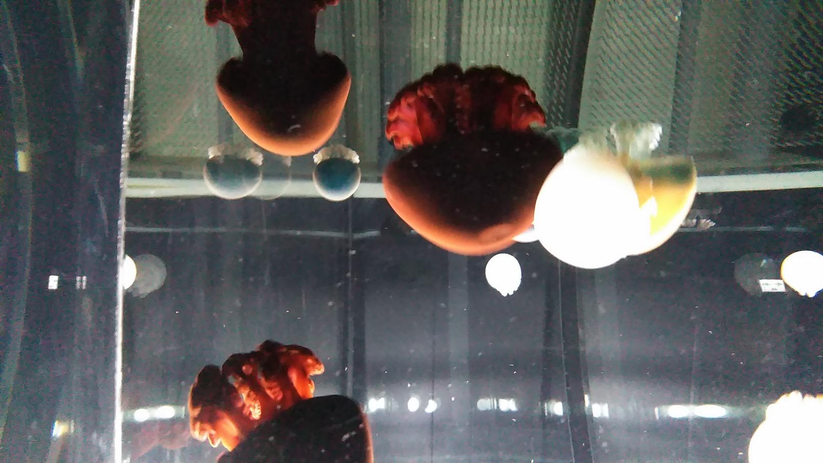くらげ クラゲ 海月 名古屋港水族館で
