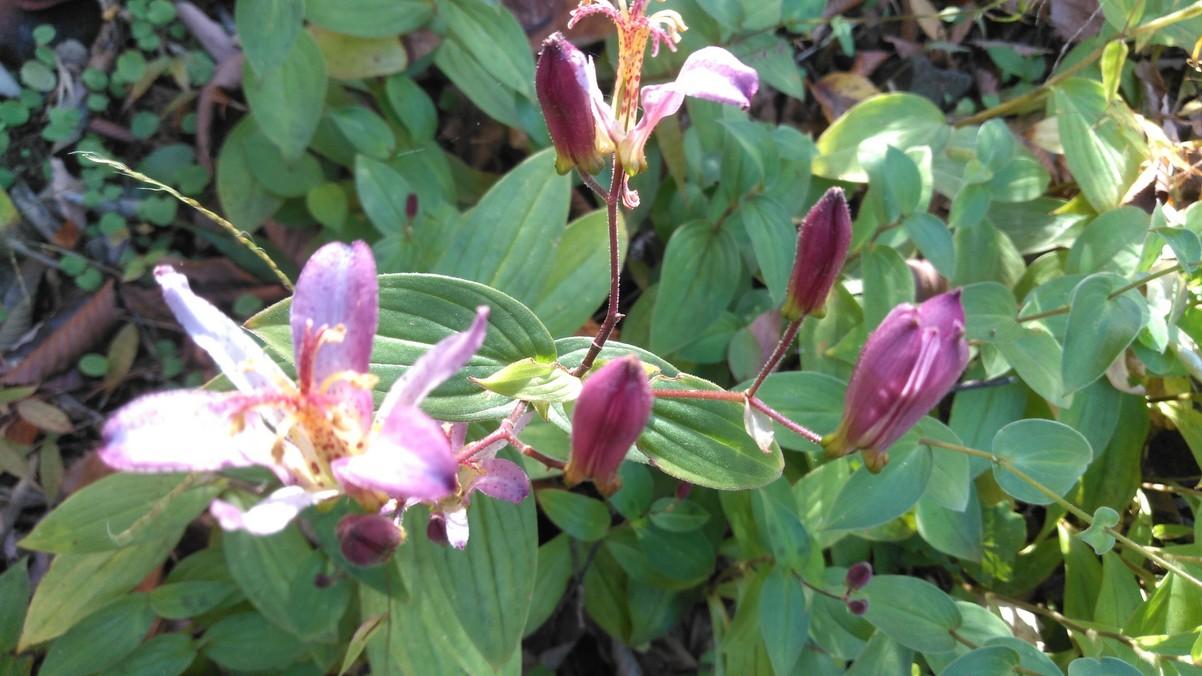 ホトトギスの花が色々
