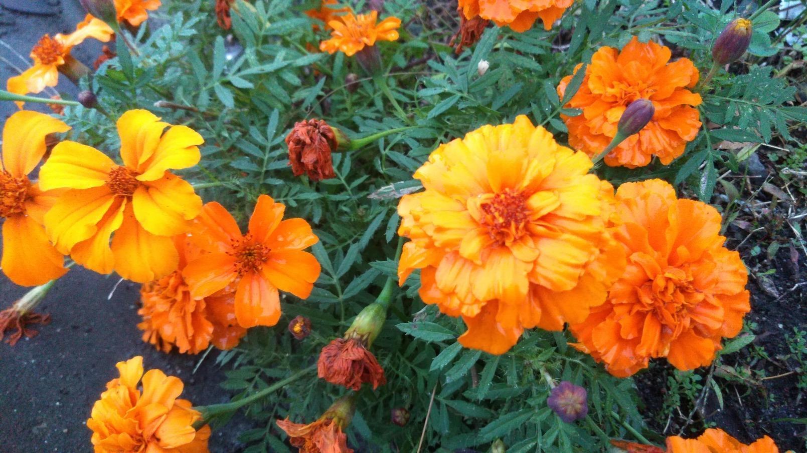 マリーゴールドとらっきょうの花