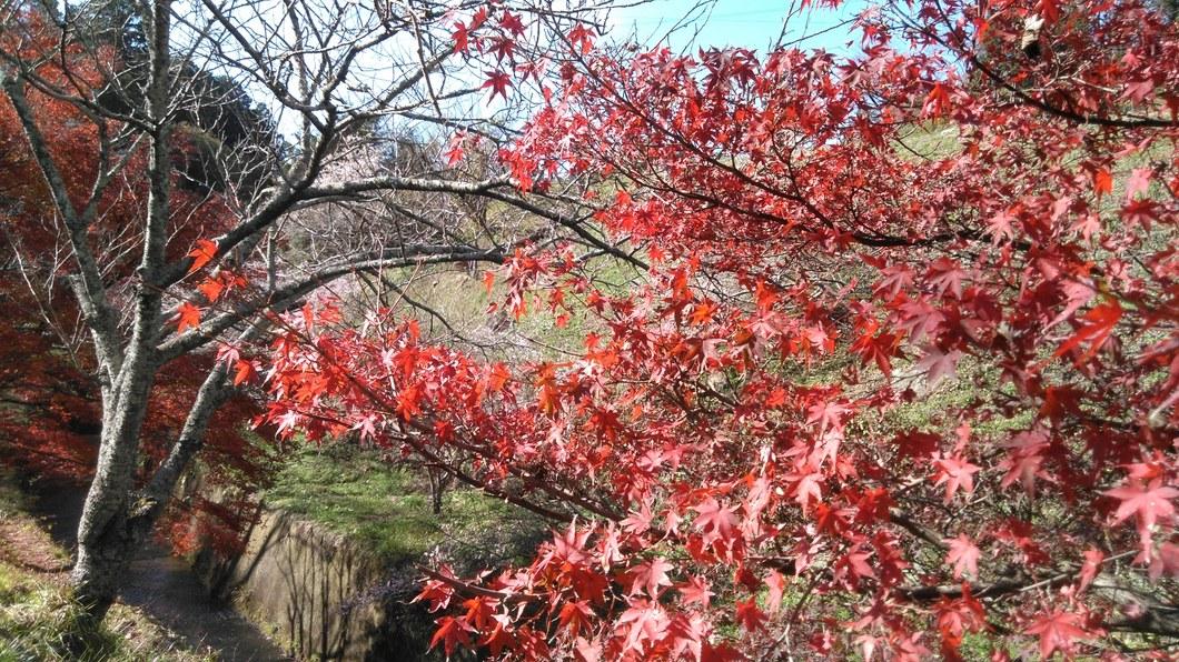 桜と紅葉を同時に楽しむ!