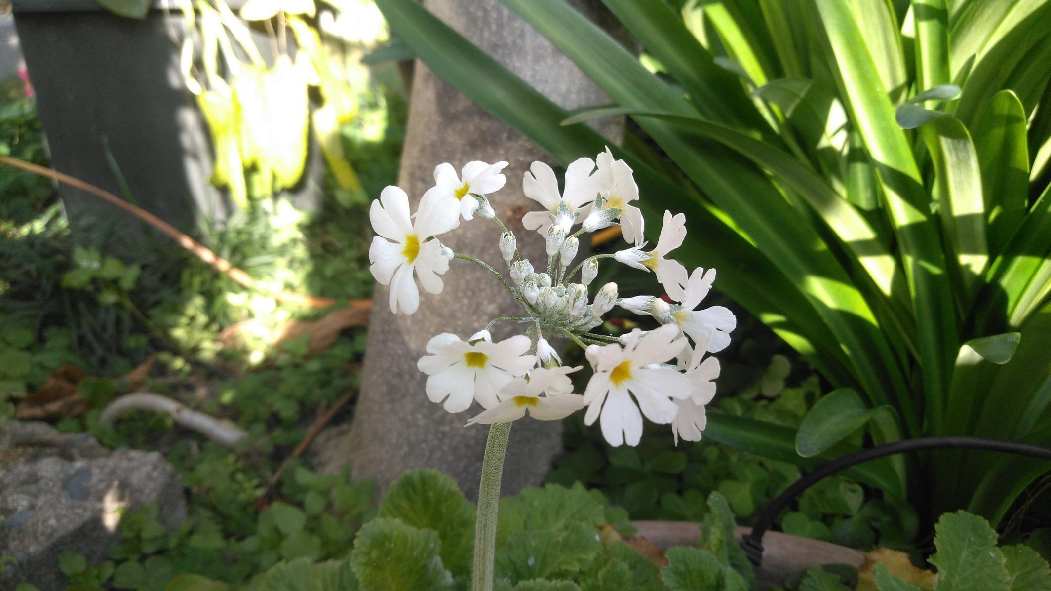 向日葵の花とサクラソウの花
