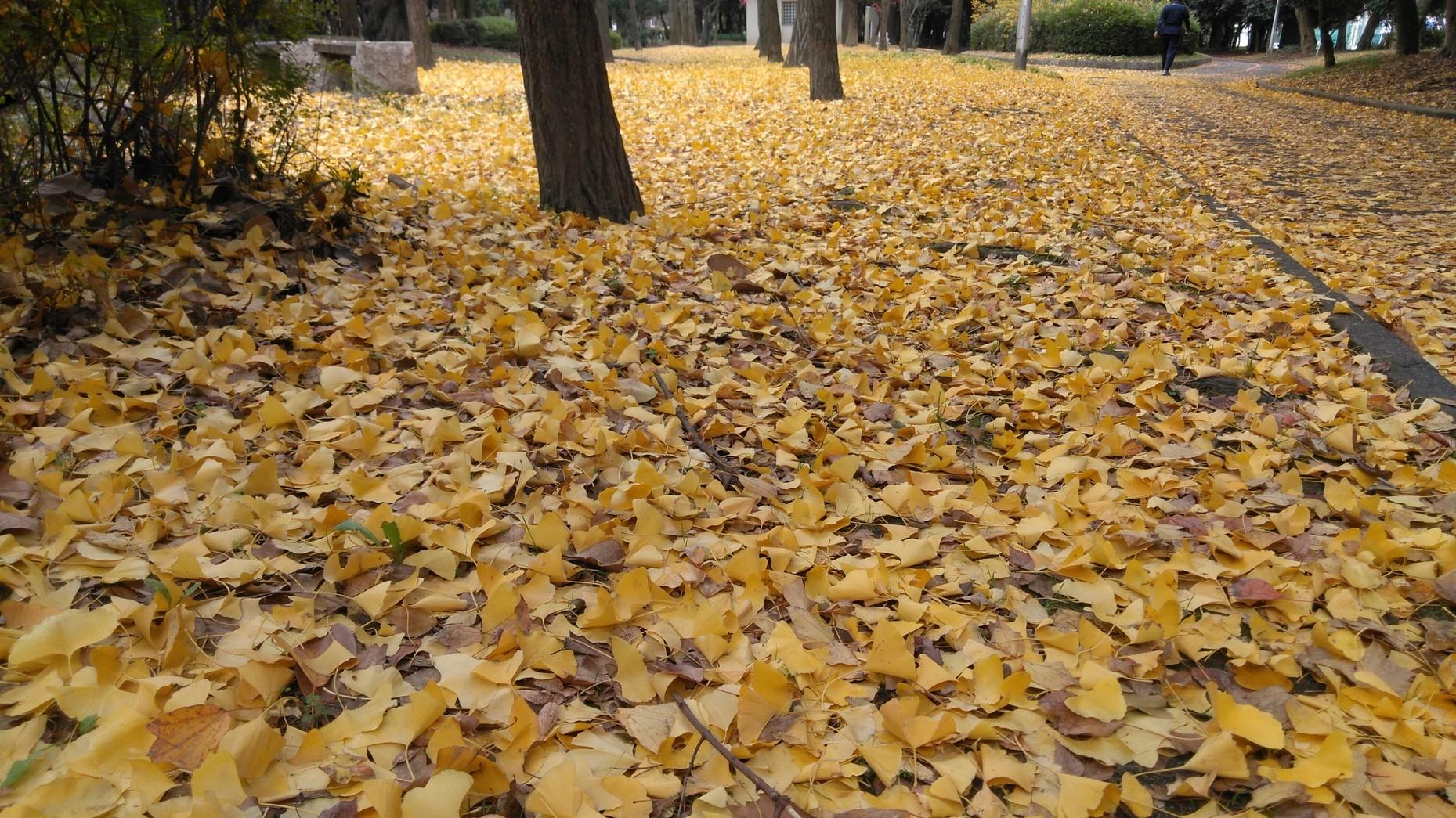 大江川緑地の黄葉と忘年会